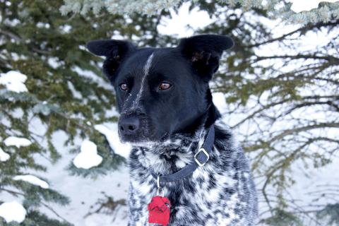 Kootenay dog portrait
